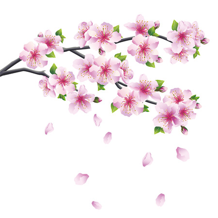 Illustration pour Blossoming branch of sakura - Japanese cherry tree with falling petal  Beautiful cherry blossom pink - violet, isolated on white background  Vector illustration - image libre de droit