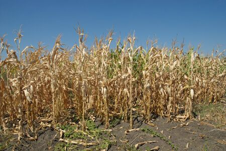 Corn field in late summer before harvest
