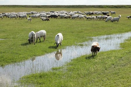 Herd of sheep eating grass at meadow with creek