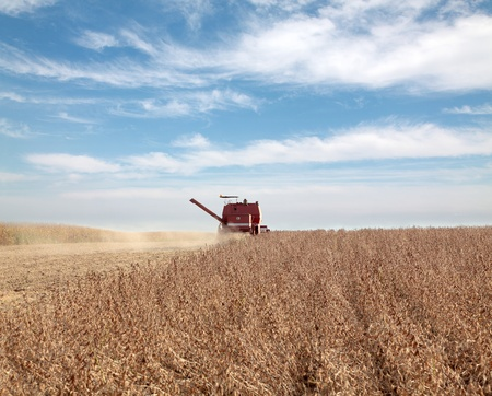 Harvesting of soy bean field with combine