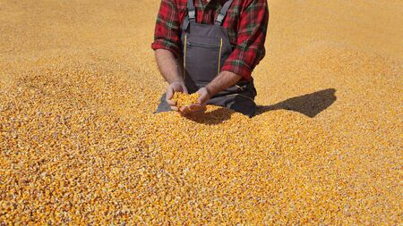 Foto für Corn harvest, farmer at heap of crop holding and pouring seed, closeup of hands with seed - Lizenzfreies Bild