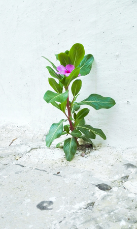 Vinca plant with pink flower alone between white wall and flooring