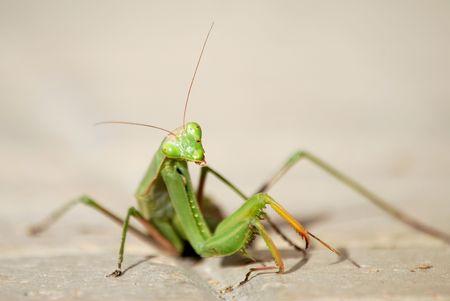 Foto per praying mantis - Immagine Royalty Free