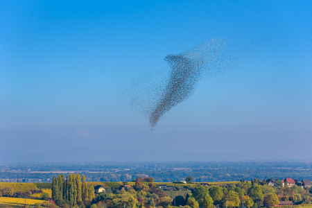 Flock  and swarm of birds - beautiful formations of flying birds