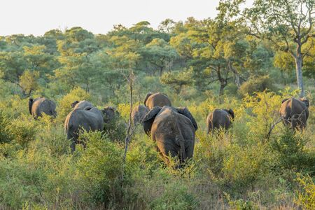 Herd of Elephants walking away in the bush in the Kruger National Park, South Africa.