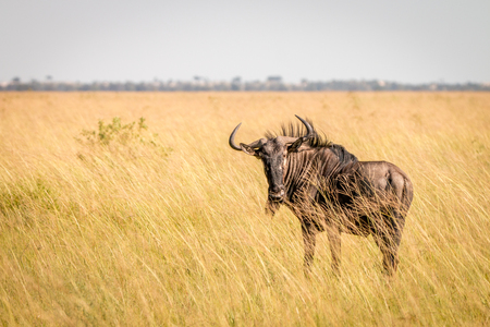 A Blue wildebeest standing in high grass in the Chobe National Park, Botswana.