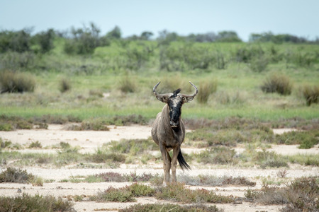 Blue wildebeest starring at the camera in the Etosha National Park, Namibia.