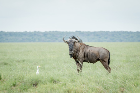 Blue wildebeest standing in the grass with a Cattle egret in the Etosha National Park, Namibia.