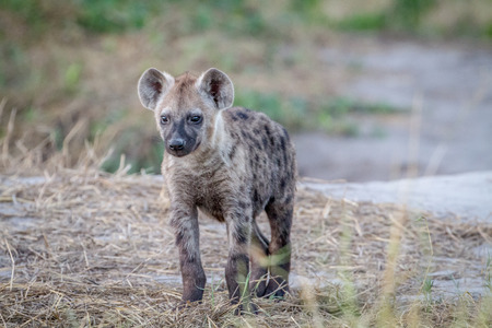 Young Spotted hyena starring at the camera in the Chobe National Park, Botswana.