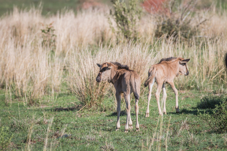Blue wildebeest calves standing in the grass in the Welgevonden game reserve, South Africa.