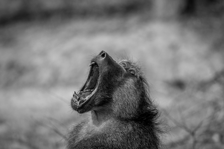 Chacma baboon yawning in black and white in the Kruger National Park, South Africa.