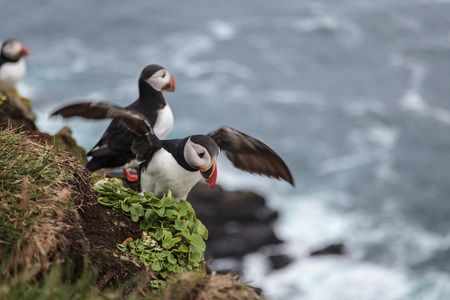 little seabird  puffin  in Iceland mooving wings
