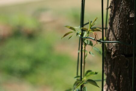 Photo of a rose growing safely next to a tree