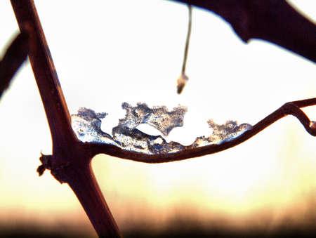 Eisgebilde an einem Rebstock im Winter