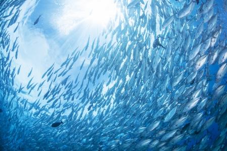 Photo pour flock of jack fish - image libre de droit