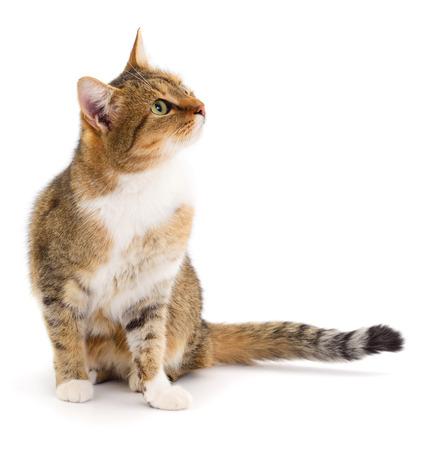 Photo pour Beautiful brown house cat on a white background. - image libre de droit