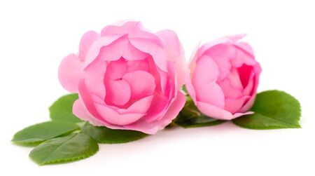 Photo for Pink rose flower on branch and leaf isolated on white background. - Royalty Free Image