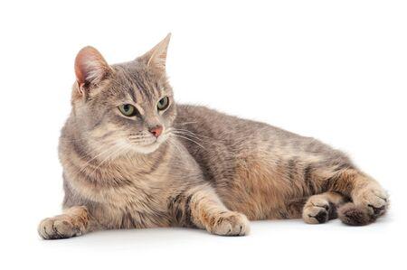 Photo pour Beautiful gray house cat on a white background. - image libre de droit