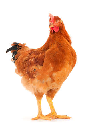 Photo pour Young brown hen isolated on white background. - image libre de droit