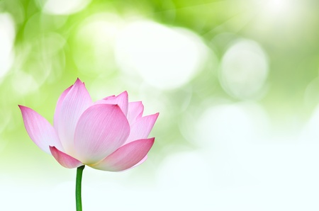 Cluse up Pink lotus Nelumbo nuclfera Gaertn  flower isolated with green background