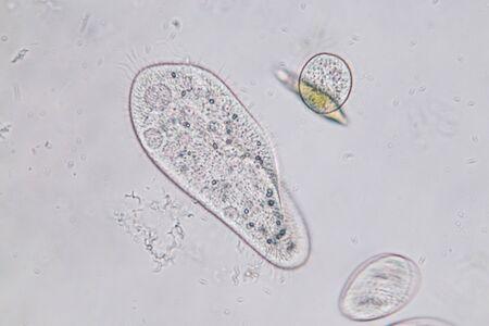 Photo pour Paramecium caudatum is a genus of unicellular ciliated protozoan and Bacterium under the microscope. - image libre de droit