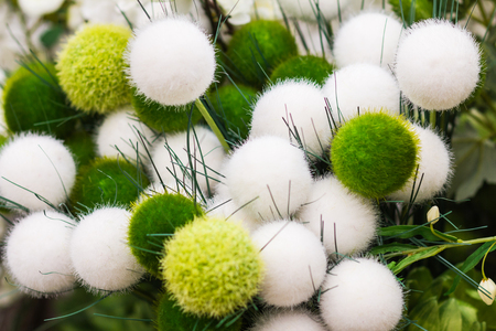 Closeup downy, fluffy, freshly, furry, beautiful round plant in green-white colors
