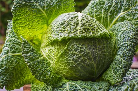 Green cabbage in garden after rain closeup