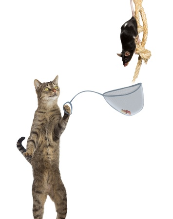 Fun conceptual image of an intelligent cat ratcatcher holding a net with a tasty titbit under the nose of a mouse clinging to a rope isolated on white