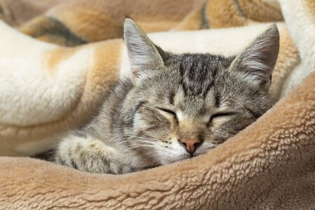Photo for Domestic cat wrapped in a blanket and sleeps. Close-up. Only the face is visible - Royalty Free Image