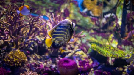Photo pour Emperor angelfish (Pomacanthus imperator) swimming over a coral reef with anthias in the background. - image libre de droit