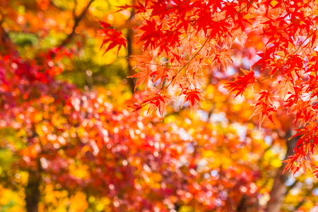 Photo for Beautiful red and green maple leaf on tree in autumn season - Royalty Free Image