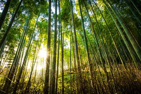 Photo pour Beautiful landscape of bamboo grove in the forest at Arashiyama Kyoto Japan - image libre de droit