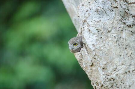 Photo pour Spotted owlet (Athene brama) in the nature, Thailand - image libre de droit