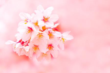 Photo pour Sakura cherry blossom flower bloom in spring season. Vintage sweet soft tone. - image libre de droit