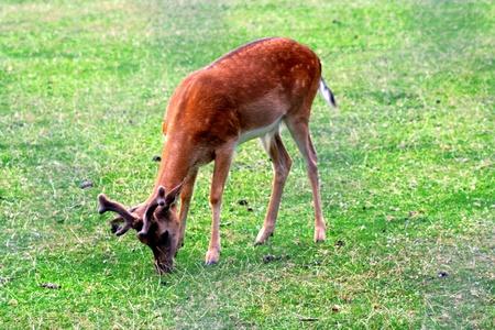 Foto per solitary deer - Immagine Royalty Free