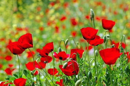 Field of blooming poppy flowers. Spring season background.