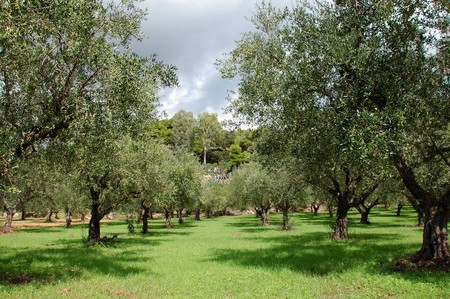 Rows of olive trees in the country.