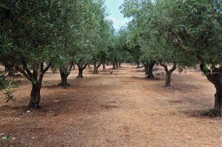 Olive trees and free range poultry in the country.