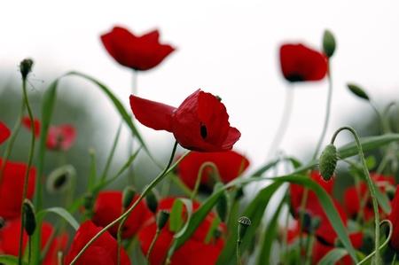 Red poppy flowers in a field. Spring season background.