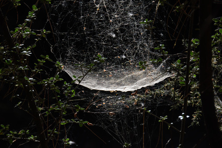 Spider and web on tree branches in gloomy forest.