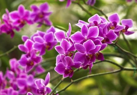Violet orchid - phalaenopsis