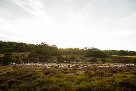 Flock of sheep in a mountain valley oak with light of the sun setting on the horizon