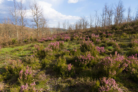 Heather plants flowered in spring with pink or mauve color on background of oak forest in sunny