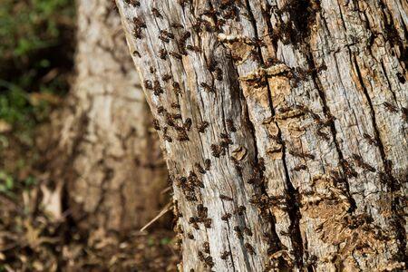Detail of red ants in oak trunk