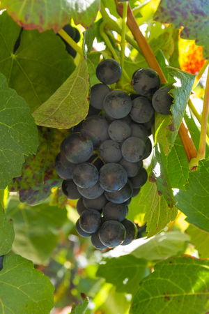 Detail of bunch of black grapes hidden among the leaves of the vine, ready for harvesting
