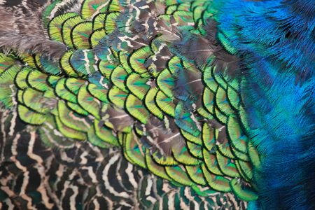beautiful display feathers plumage of male peacock