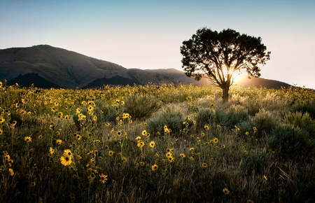 Sun shining through a juniper tree with sunflowers, sagebrush, and mountains landscape.