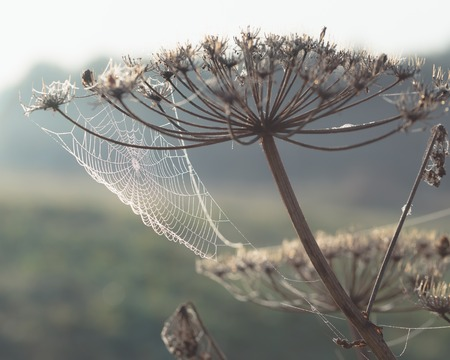 Dew covered cobwebs at dawn in a cool summer morning in a meadow, toned