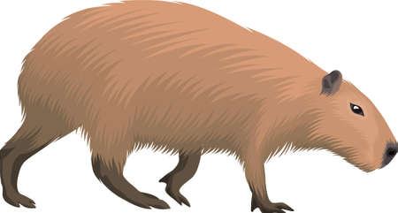 Illustration pour vector Capybara isolated on white background - image libre de droit