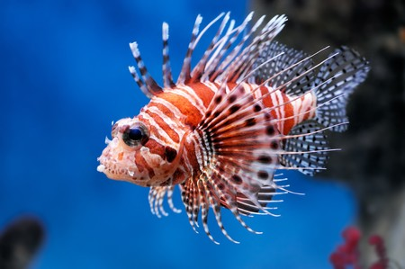 Photo for Lionfish (Pterois mombasae) in a Moscow Zoo aquarium - Royalty Free Image